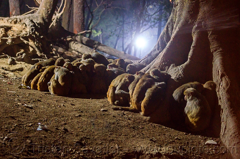 colony of macaque monkeys sleeping on the ground (nepal), macaque, monkeys, night, sitting, sleeping, wildlife