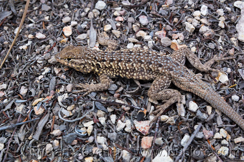 common side-blotched lizard - uta stansburiana, common side-blotched lizard, pinnacles national park, reptile, uta stansburiana, wildlife