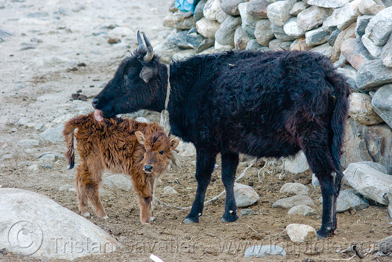 cow and calf, baby cow, fur, furry, ladakh, licking, spangmik