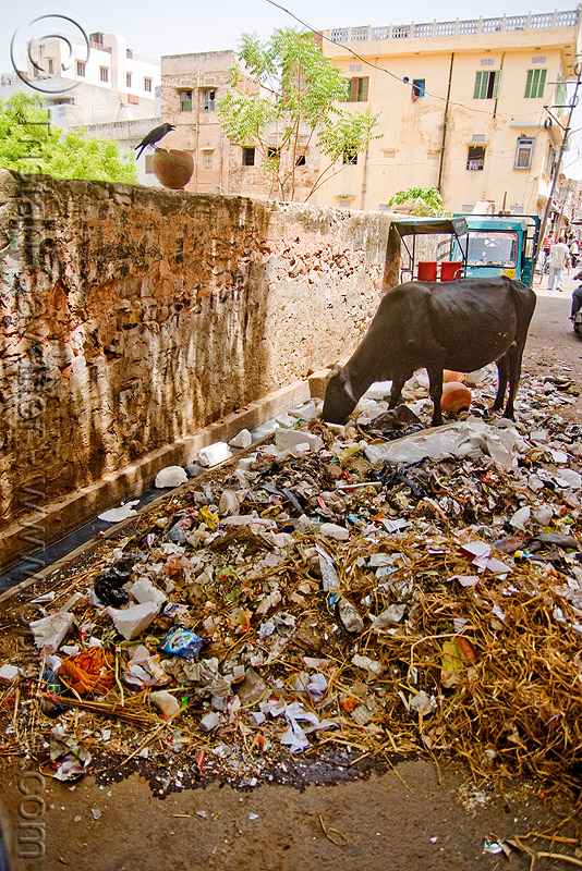 cow attempting to recycle trash - jaipur (india), environment, garbage, jaipur, plastic trash, pollution, rubbish, street cow