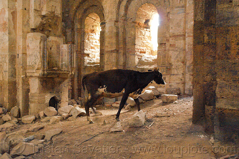 cow in the otkhta monastery - georgian church ruin (turkey), byzantine, cow, dört kilise, georgian church, okhta ecclesia, orthodox christian, otkhta monastery, religion, ruins
