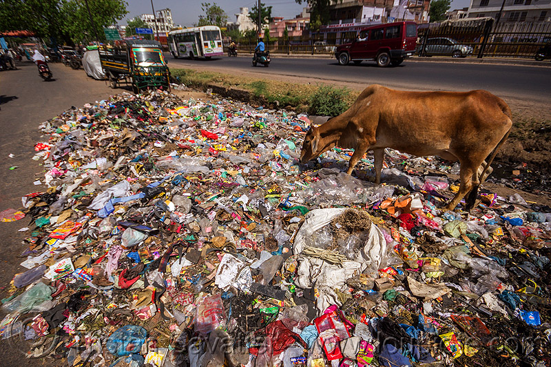 cow looking for food among plastic trash (india), dump, environment, garbage, india, plastic trash, pollution, road, single-use plastics, street cow, traffic