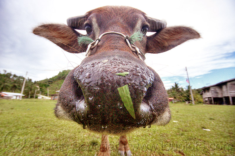 water buffalo cow nose - funny cow, cow snout, ears, field, grass, grassland, head, turf