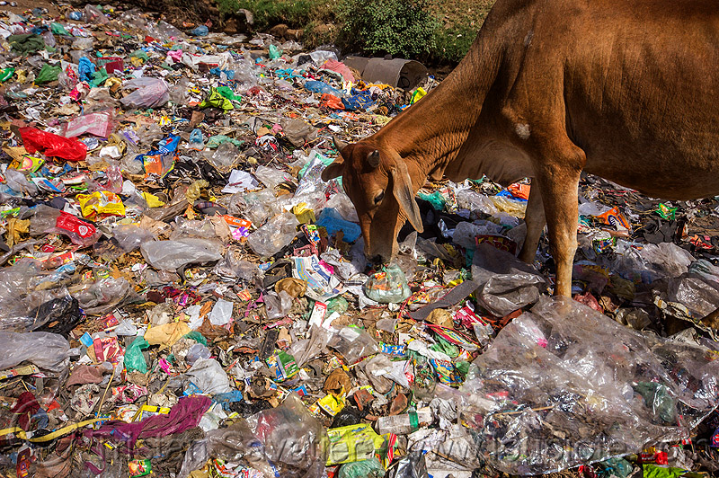 cow trying to find food among the plastic trash (india), dump, environment, garbage, india, plastic trash, pollution, road, single-use plastics, street cow