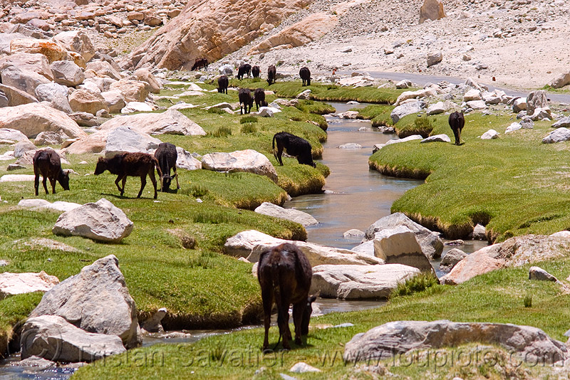 cows and river - road to pangong lake - ladakh (india), cows, grass, grazing, india, ladakh, river, valley