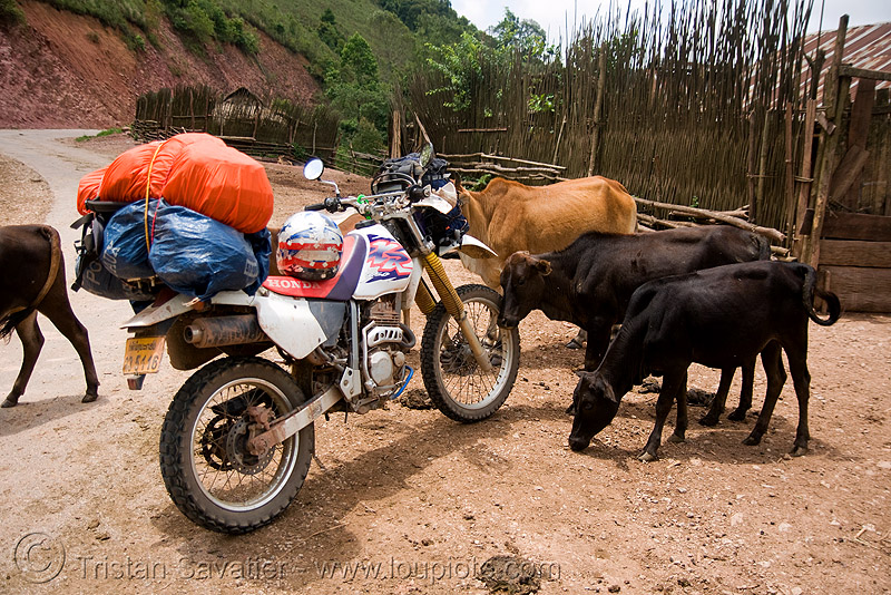 cows like my motorbike - honda xr 250 - laos, 250cc, cows, dual-sport, honda motorcycle, honda xr 250, motorbike touring, motorcycle touring, road