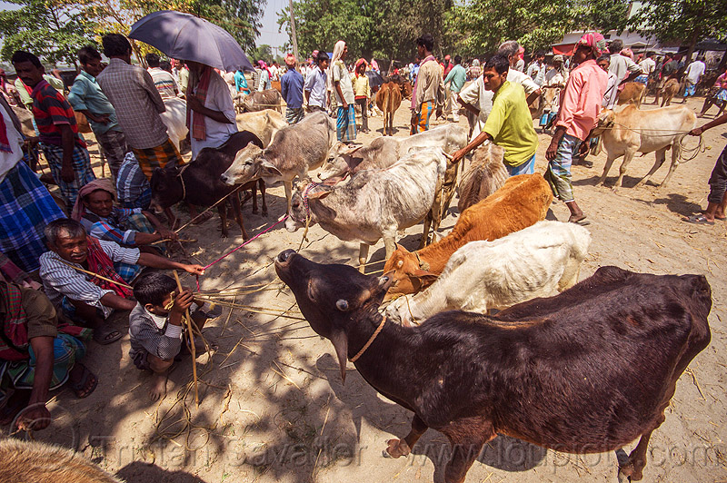 cows on leash at cattle market (india), cattle market, cows, crowd, leash, ropes, west bengal