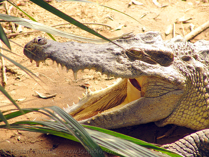 crocodile teeth - vietnam, crocodile farm, head, reptiles, teeth, vietnam crocodiles, wildlife