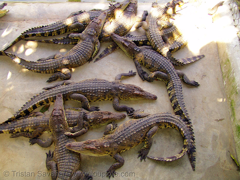 crocodiles in crocodile farm (vietnam), crocodile farm, reptiles, vietnam crocodiles, wildlife