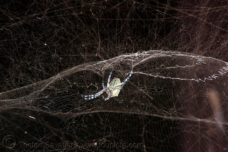 spider and web (laos), spider web, wildlife