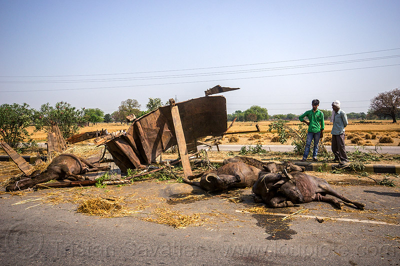 dead and injured water buffaloes spilled on road after truck accident (india), carcass, carcasses, cows, crash, dead, hay, injured, lying, men, road, traffic accident, truck accident, water buffaloes