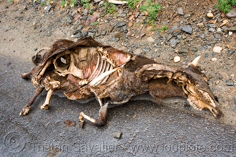 dead cow carcass, bones, carrion, decomposed, decomposing, ribs, road, road kill, skeleton