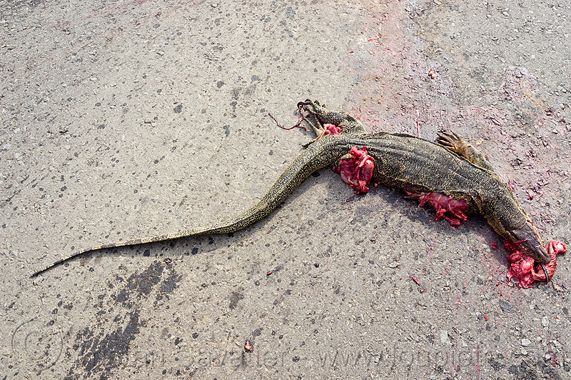 dead monitor lizard - road kill, carcass, carrion, dead, giant lizard, gory, guts, monitor lizard, reptile, road kill, varanus salvator macromaculatus, water monitor, wildlife
