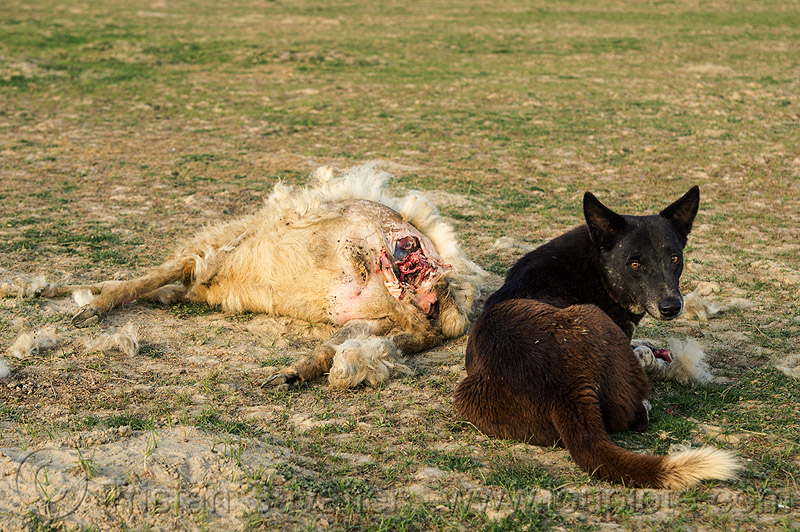 dead sheep and stray dog, carcass, carrion, dead animal, dead sheep, decomposed, decomposing, field, putrefied, stray dog