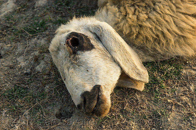 dead sheep head, carcass, carrion, dead animal, dead sheep, decomposed, decomposing, eye socket, field, ground, lying, missing eye, putrefied, sheep head