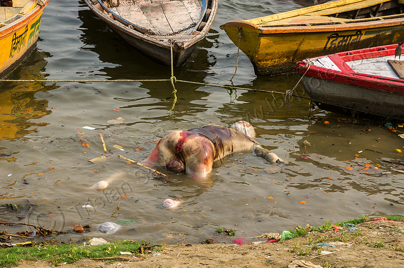 decomposed corpse of dead man floating on the ganges river (india), bloated, blood, bloody, cadaver, corpse, dead, death, decomposed body, decomposing, floating, ganga river, ganges river, grisly, gruesome, hindu, hinduism, human remains, macabre, man, morbid, putrefied, river bank, river boats, varanasi, water