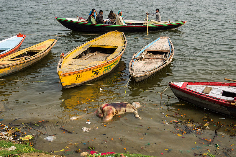 decomposing corpse floating on the ganges river (india), bloated, blood, cadaver, corpse, dead, death, decomposed body, decomposing, floating, ganga, ganges river, hindu, hinduism, human remains, india, man, mooring, putrefied, river boats, varanasi
