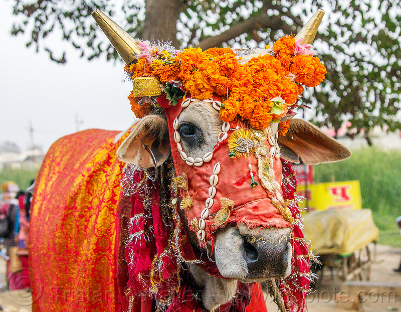 decorated holy cow, decorated, hindu pilgrimage, hinduism, holy bull, holy cow, india, maha kumbh mela, marigold flowers, sacred bull, sacred cow