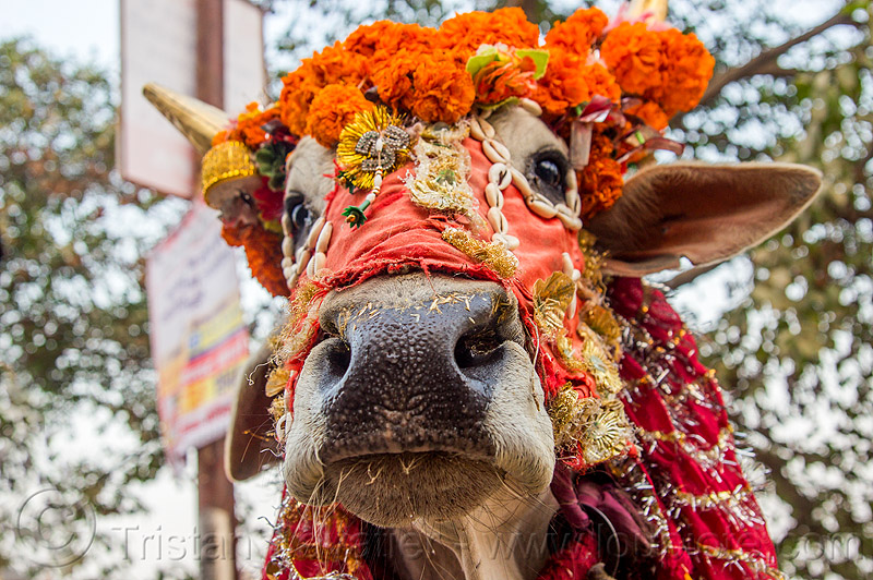 decorated holy cow - cow nose, cow nose, cow snout, decorated, hindu, hinduism, holy bull, holy cow, kumbha mela, maha kumbh mela, marigold flowers, orange flowers, sacred bull, sacred cow