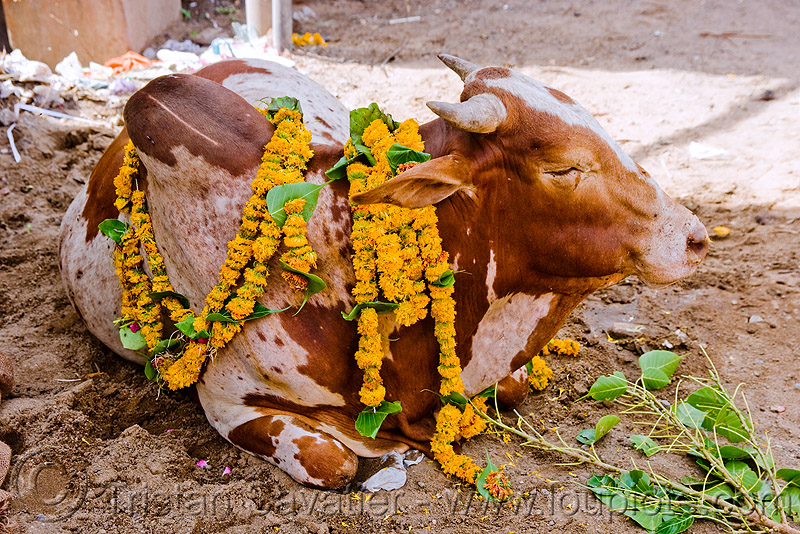 holy cow, flowers, holy bull, holy cow, offerings, sacred bull, sanawad, street cow
