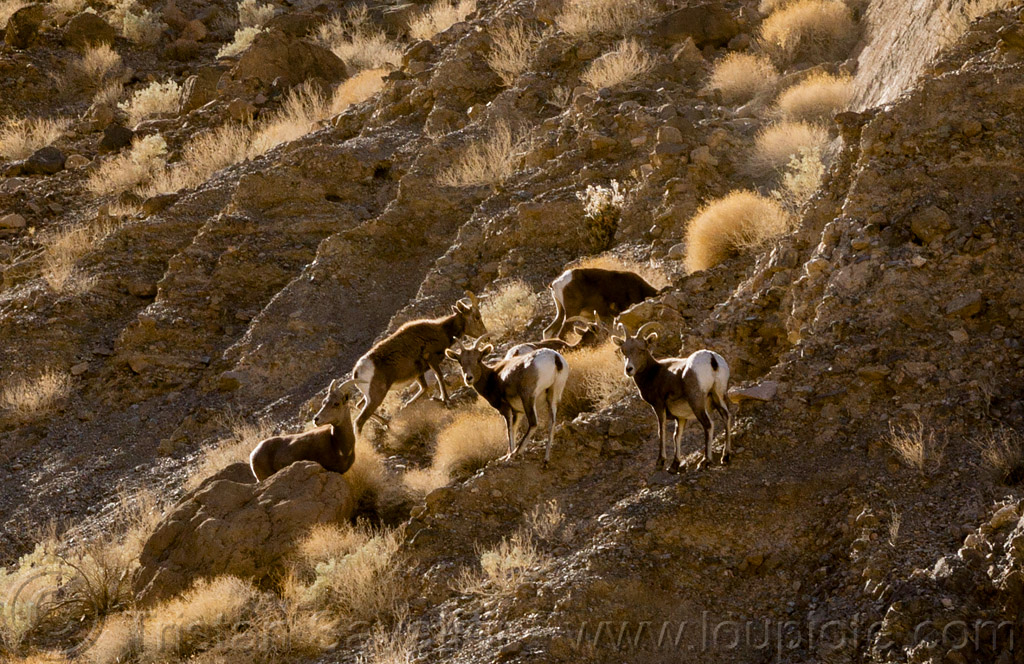 desert bighorn sheep, death valley, desert bighorn sheep, grotto canyon, wildlife