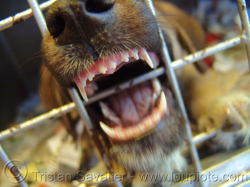 dog in cage, biting, canine, incisors, mouth, snout, teeth