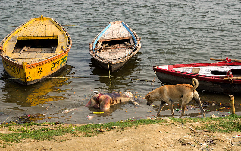 dog looking at decomposed corpse floating on the ganges river (india), bloated, blood, cadaver, corpse, dead, death, decomposed body, decomposing, floating, ganga, ganges river, hindu, hinduism, human remains, india, man, mooring, putrefied, river bank, river boats, stray dog, varanasi