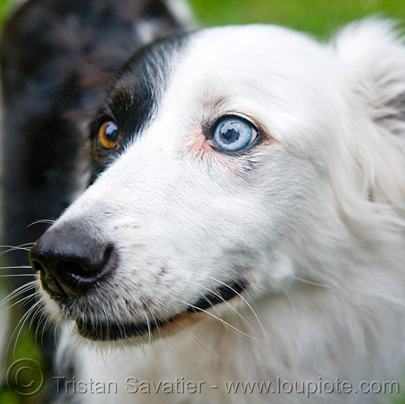 dog with bi-color eyes, bi-color, black, blue eye, clear eyes, dirty bird party, dog, head, snout, white