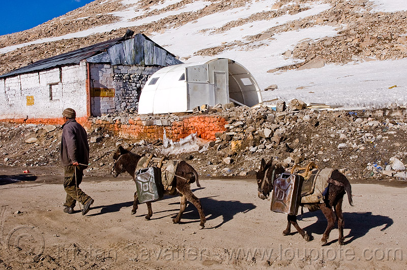 donkeys with jerrycans - chang-la pass - ladakh (india), asinus, chang pass, chang-la pass, donkeys, equus, jerrycans, ladakh, man, mountain pass, mountains, snow patches, working animals