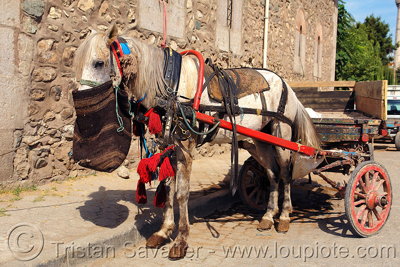 draft horse with feed bag, draft horse, draught horse, feed bag, horse carriage, horse cart, street, work horse
