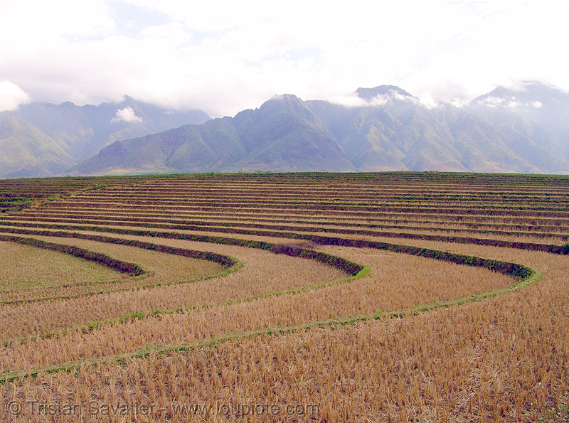 rice paddy fields - terrace farming, agriculture, rice fields
