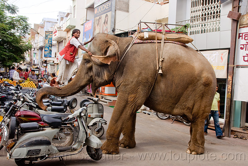 elephant and mahout on his trump, asian elephant, climb, climbing, elephant riding, elephant trump, mahout, man, motorbikes, motorcycles, scooters, street, vespa