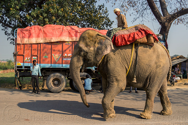 elephant and truck on road (india), elephant riding, lorry, mahout, man, people