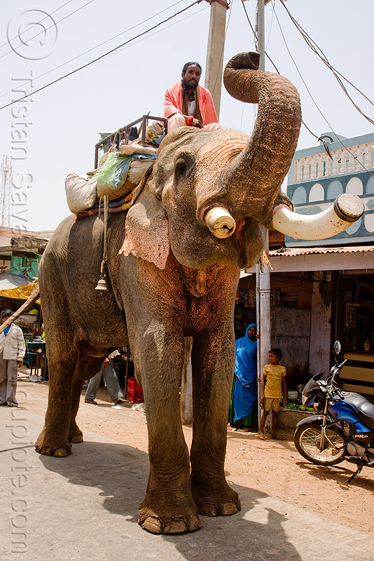 elephant in the street (india), elephant riding, elephant tusks, mahout, man, people
