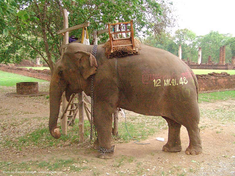 ช้าง - elephant - painted - thailand, asian elephant, elephant riding, painted, ช้าง, ประเทศไทย