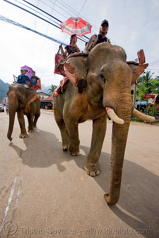elephant riding - vang vieng (laos), asian elephant, elephant riding, elephants, mahout, man, street, vang vieng