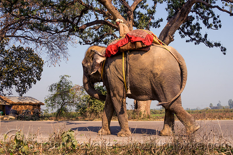 elephant walking on road (india), asian elephant, elephant riding, india, mahout, man, road, trees