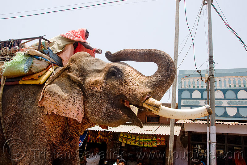elephant with sawed-off tusks in the street (india), asian elephant, elephant riding, elephant tusks, mahout, man, street