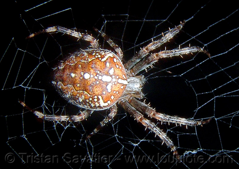 european garden spider on web - macro, araneidae, araneus diadematus, close-up, cross spider, european garden spider, female, flash, macro, night, spider web, wildlife