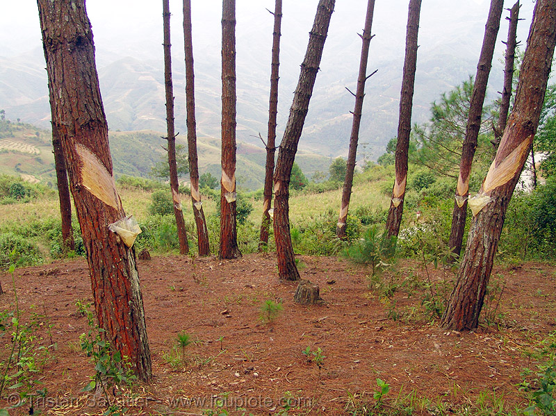 exploiting tree sap - pine trees, forest, pine sap, pine trees, resin, tapping, tree sap, tree trunks, vietnam