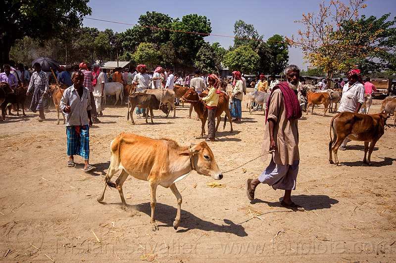 farmer with skinny cow at cattle market (india), cattle market, cows, crowd, india, leash, rope, skinny, walking, west bengal