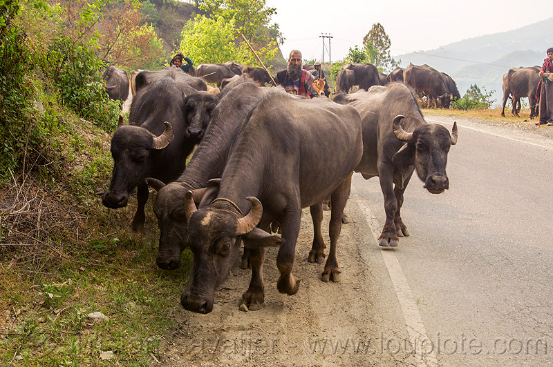farmers walking their herd of water buffaloes on the road (india), cows, herd, india, man, muslim, road, walking, water buffaloes