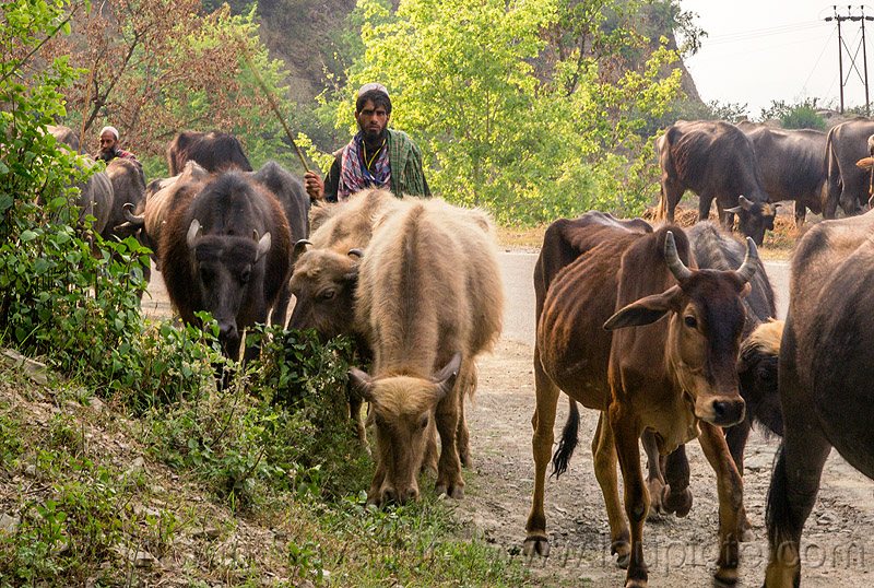 farmers walking their water buffaloes and cows on the road (india), cows, herd, man, muslim, road, walking, water buffaloes