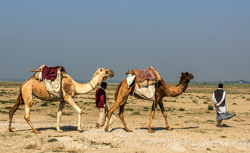 farmers walking with their camels (india), camel muzzle, desert, double hump camels, flood plain, ganga, ganges, men, sand, two, walking