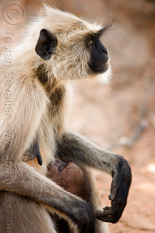 female langur monkey breastfeeding baby (india), baby monkey, black-faced monkeys, breastfeeding, gray langur, nursing, semnopithecus entellus, suckling, wildlife