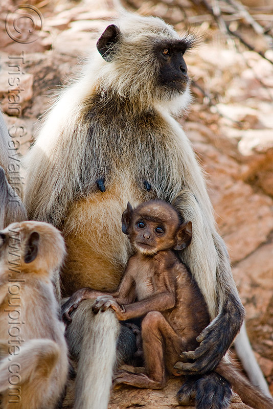 female langur nursing baby monkey (india), baby monkey, black-faced monkeys, gray langur, nursing, semnopithecus entellus, wildlife