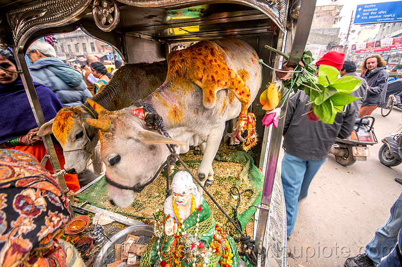 five legged cow (india), 5 legged cow, baby cow, calf, five legged cow, holy cow, legs, offerings, painted, polymelia, sai baba, street, varanasi