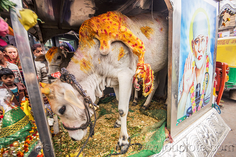 five legged holy cow (india), 5 legged cow, baby cow, calf, five legged cow, holy cow, india, leg, offerings, painted, polymelia, sai baba, varanasi