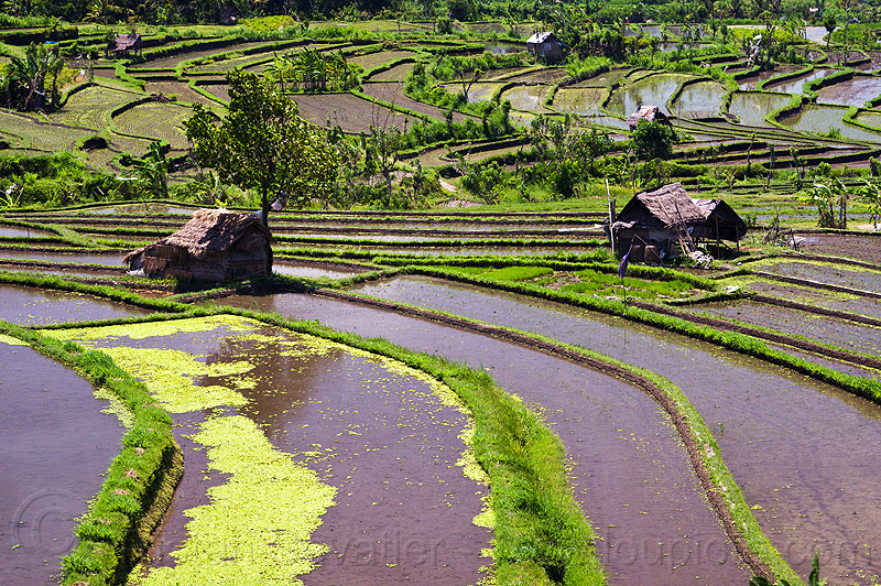 flooded paddy fields - terrace farming (bali), agriculture, bali, flooded, huts, indonesia, rice paddies, rice paddy fields, terrace farming, terraced fields