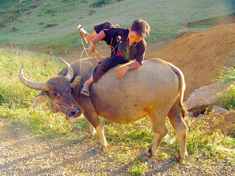 flower hmong boy dismounting his water buffalo - vietnam, black hmong, children, cow, flower h'mong tribe, hill tribes, indigenous, kid, people